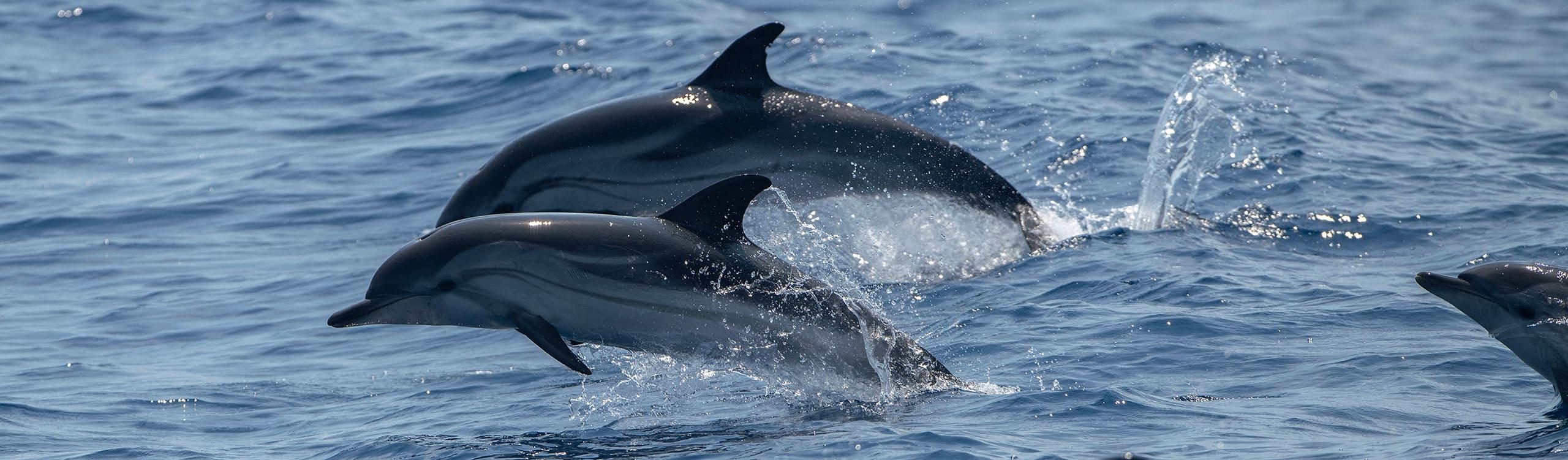 Dauphins bleu-et-blanc