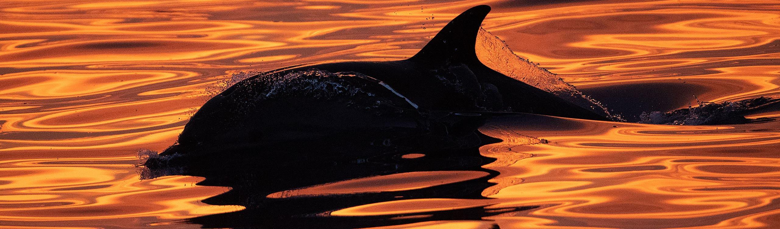 Dauphin au coucher de soleil