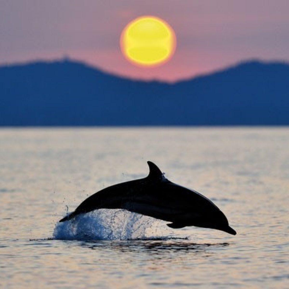 Dauphin et coucher de soleil
